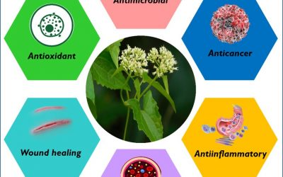 Towards the antimicrobial, therapeutic and invasive properties of Mikania micrantha Knuth: a brief overview